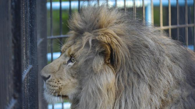 In this Tuesday, June18, 2013 photo a lion Sam walks in Novosibirsk Zoo. Zita, a liger, half-lioness, half-tiger, and the lion, Sam are a pair, which gave birth to liliger cubs. (AP Photo /Ilnar Salakhiev)
