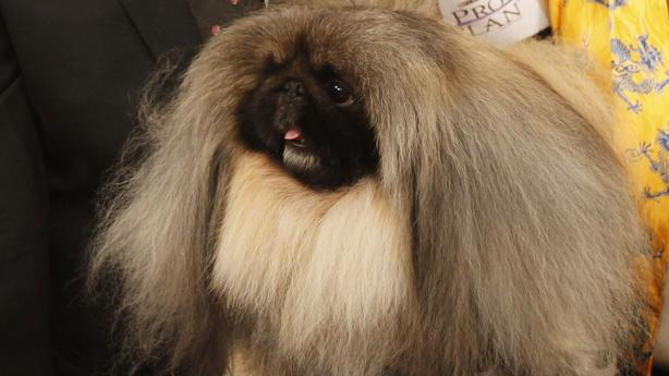 Malachy the Pekinese Faces Backlash After Best in Show Win