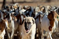Anatolian Shepherd dog Bonzo leads a herd of goats on Retha Joubert's farm near near Gobabis, east of the capital Windhoek, on August 15, 2013. Five-year old Bonzo is part of the Cheetah Conservation Fund which breeds the dogs near northern city Otjiwarongo