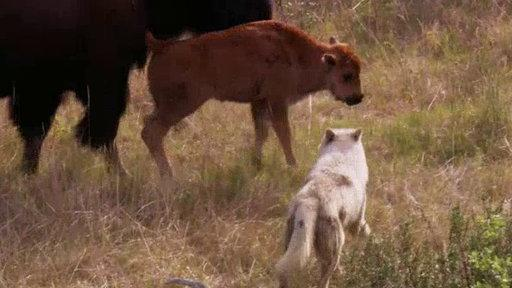 Bison and Her Calf Battle Wolves