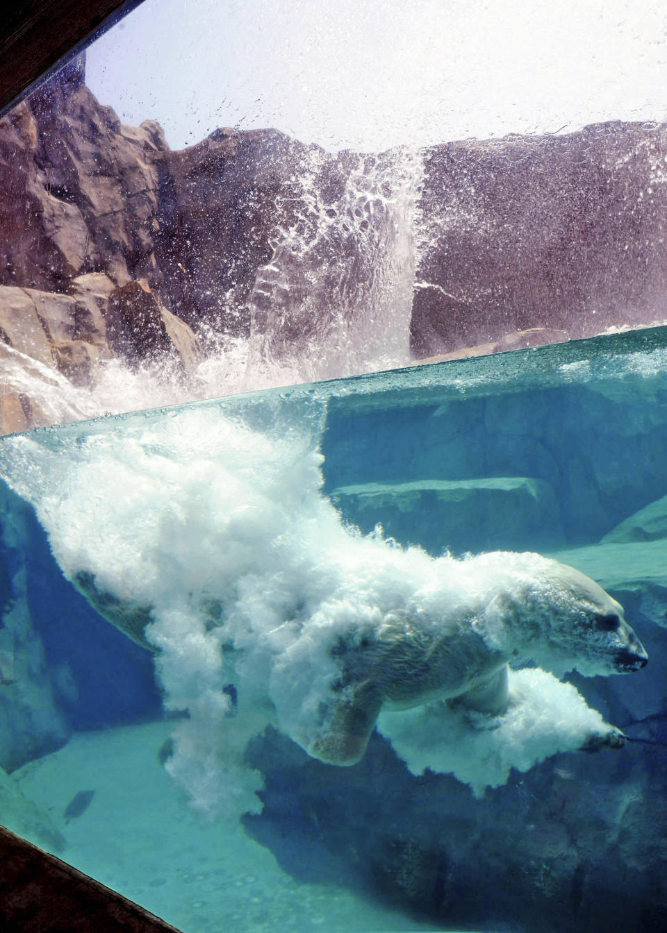 This photo provided by the Chicago Zoological Society shows Hudson, a polar bear at Brookfield Zoo in Brookfield, Ill., enjoysing a swim after jumping into his pool Saturday, July 7, 2012, as a heat wave continues throughout the Midwest. (AP Photo/Chicago Zoological Society, Jim Schulz)