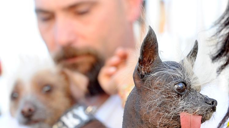 Handsome Hector, right, waits backstage at the 2011 World's Ugliest Dog Contest on Friday, June 24, 2011, in Petaluma, Calif. At left, fellow contender Icky eyes Hector, a pure bred Chinese Crested who won his division at the Sonoma-Marin Fair event. (AP Photo/Noah Berger)