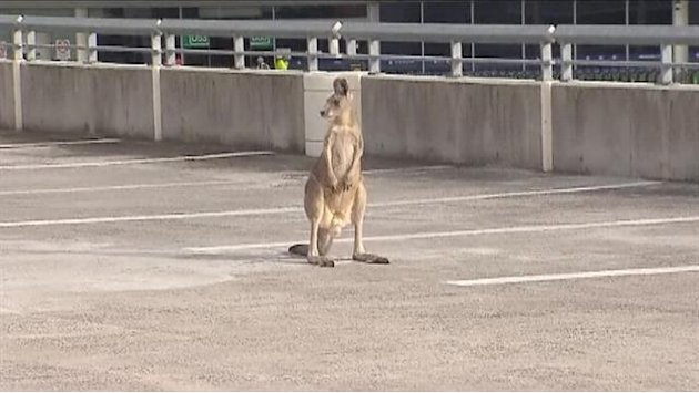 Police chase kangaroo in airport&nbsp;&hellip;