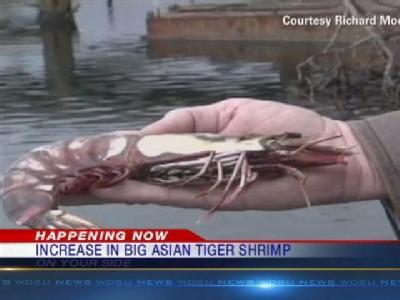 Increase In Massive Shrimp Discovered In Gulf