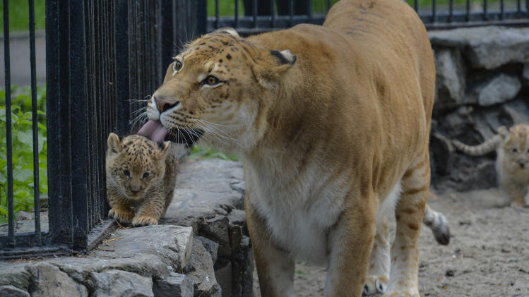 In this Tuesday, June 18, 2013 photo Zita, a liger, half-lioness, half-tiger, licks her one month old liliger cub in the Novosibirsk Zoo. The cub's father is a lion, Sam. (AP Photo /Ilnar Salakhiev)