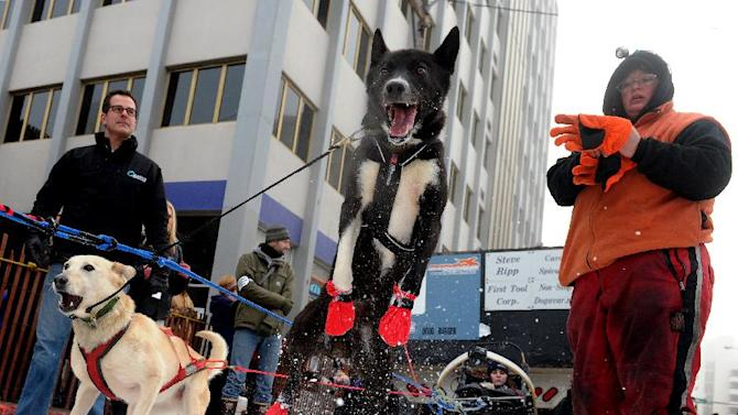 Ramey Smyth's dogs prepare at the ceremonial start of the Iditarod Trail Sled Dog Race on Saturday, March 2, 2013, in Anchorage, Alaska. The competitive portion of the 1,000-mile race is scheduled to begin Sunday in Willow, Alaska. (AP Photo/Anchorage Daily News, Bob Hallinen)