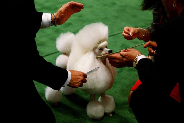 A poodle shows at Westminster (Chris McGrath/Getty Images)