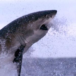 Dangerous mission tags great white sharks with cameras