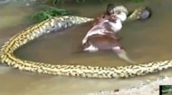 The anaconda took just over a minute to regurgitate the entire animal.