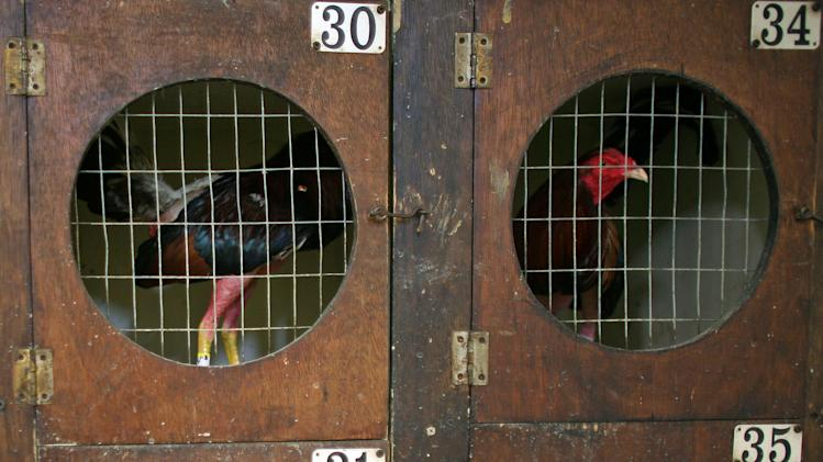 In this Friday, July 6 2012 photo, gamecocks slated to fight are housed in cages before the start of a fight night at Las Palmas, a government-sponsored cockfighting club in Bayamon, Puerto Rico. The island territory's government is battling to keep the blood sport alive, as many matches go underground to avoid fees and admission charges levied by official clubs. Although long in place, those costs have since become overly burdensome for some as the island endures a fourth year of economic crisis.  (AP Photo/Ricardo Arduengo)