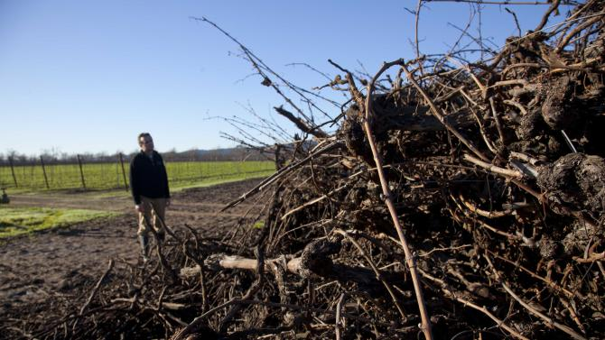 In this photo taken Thursday, Dec. 13, 2012 Chief Operating Officer Jon Ruel looks over a pile of old Riesling vines that were pulled up in October at Trefethen Family Vineyards in Napa, Calif. Napa Valley, one of California's premier wine growing regions, has an uncommon problem these days: Not enough new grape root stock to go around. Commercial nurseries were caught short by a trifecta of developments: aging vines planted after a deadly phylloxera outbreak of the 80s, the demand created by an improving economy and move toward grape plantings that allow some mechanization. (AP Photo/Eric Risberg)