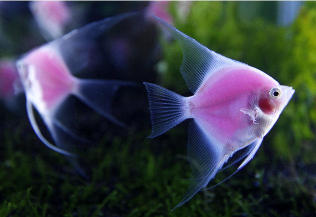 Genetically engineered angelfish…