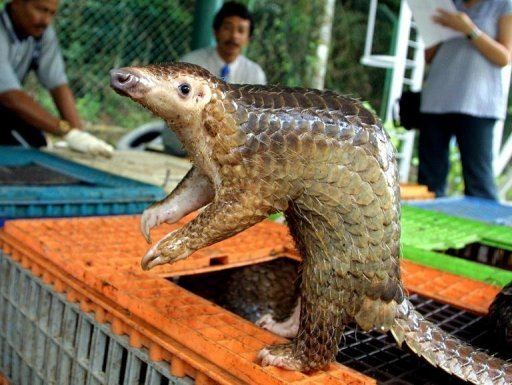 A Malayan pangolin