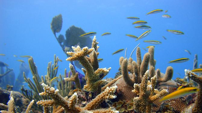 In this Oct. 18, 2011 released by the Puntacana Ecological Foundation, a healthy coral grows in Punta Cana, Dominican Republic.  The tropical islands' reefs protect fragile coastlines by absorbing energy from waves during hurricanes and normal conditions.  In the face of decline of coral reefs, some coral specialists and conservationists say passive inaction would be a grave mistake.  (AP Photo/Puntacana Ecological Foundation, Victor Manuel Galvan)