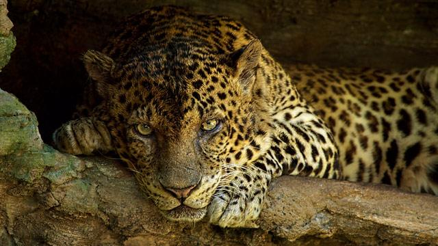 Leopard Killed Prowling Indiana Backyard