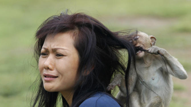 A monkey nips a woman's hair at the Pra Prang Sam Yot temple during the Monkey Buffet Festival in Lopburi province