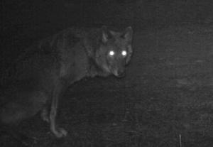 a black wolf that appears to be a female in the same …