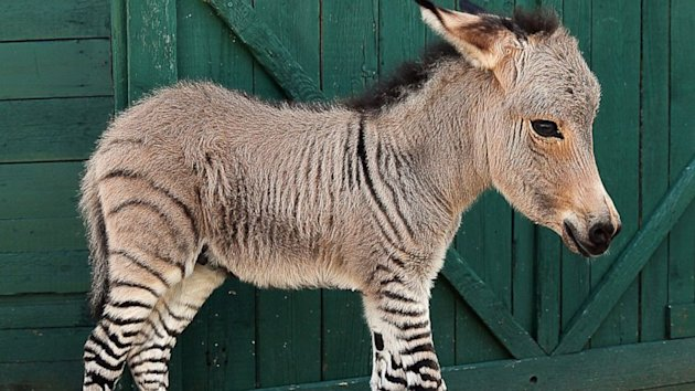 Rare Italian-born Baby Zonkey in Good Health (ABC News)