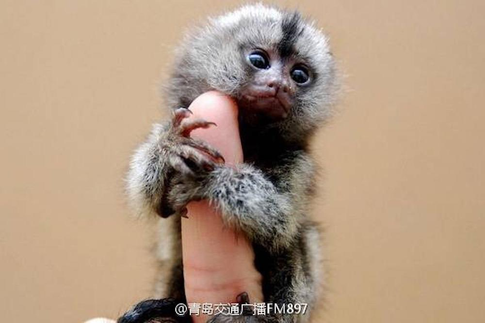 People are illegally buying these 'thumb monkeys' for $4,500