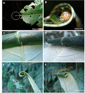 Caterpillars Build Leaf 'Houses,' Other Insects Move In