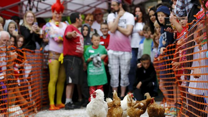 Hens make their way down the track during the World Championship Hen Racing Championships in Bonsall