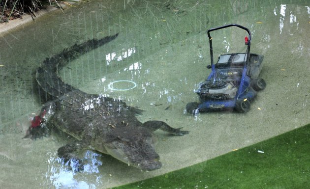Elvis, a giant saltwater crocodile swims next to a lawnmower in his pool at the Australian Reptile Park at Gosford, Australia, Wednesday, Dec. 28, 2011. The 16-foot (5-meter), 1,100-pound (500-kilogram) crocodile lunged out of its lagoon at a park worker tending to the lawn before stealing his lawn mower. (AP Photo/Libby Bain) EDITORIAL USE ONLY