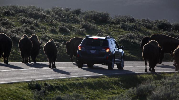 A car is stopped by a herd of bison crossing the highway in Yellowstone National Park