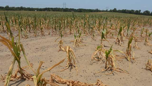 Sweltering Heat May Wreak Havoc on Corn Crops