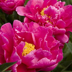 'Karl Rosenfield' Herbaceous peony
