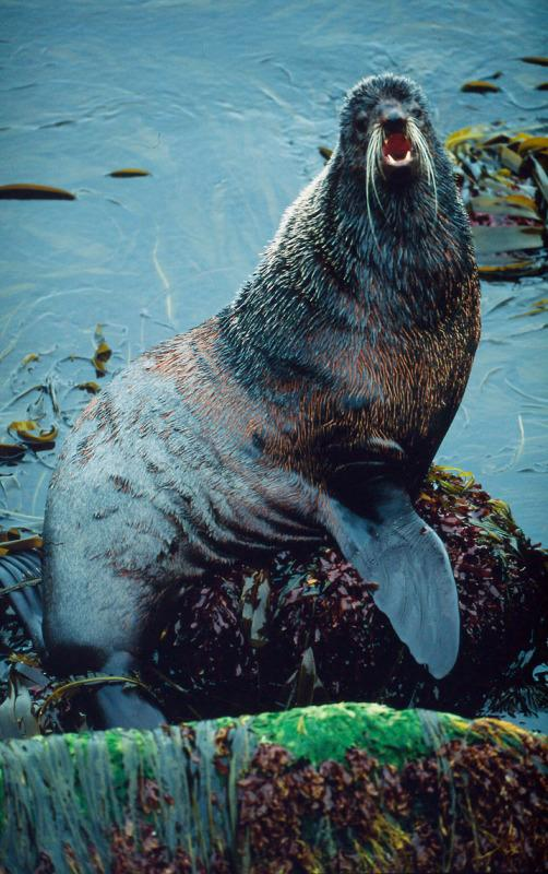 A Northern Fur Seal sits on a rock, Seals are found along most coasts and cold waters but their biggest numbers are in the Arctic and Antarctic waters. © Kevin Schafer / WWF-Canon