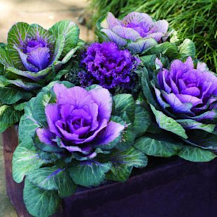 Flowering kale & cabbage