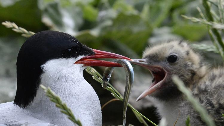 An arctic tern feeds its chick on the Farne Islands off the Northumberland coast
