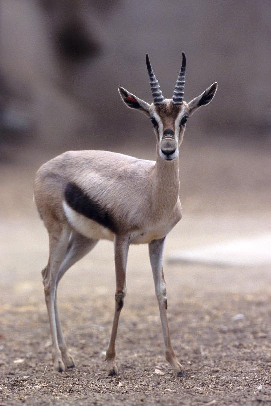 This undated photo provided by the Zoological Society of San Diego shows a Speke's gazelle. They are among the animals being considered for a new facility planned by the San Diego Zoo Global Wildlife Conservancy and New Orleans' Audubon Nature Institute in New Orleans. Of 28 species under consideration, about half are endangered, vulnerable or near threatened. (AP Photo/Zoological Society of San Diego)
