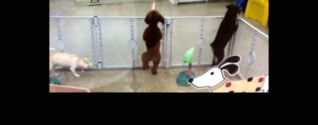 Excited puppy dances at daycare, does the salsa