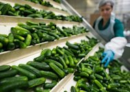 Caroline Noac checks the quality of cucumbers in Luebbenau, eastern Germany, on Monday. The German economy, Europe's biggest, beat analysts' expectations to grow by 0.3 percent in the second quarter, buoyed by rising exports and robust domestic demand, official data showed on Tuesday