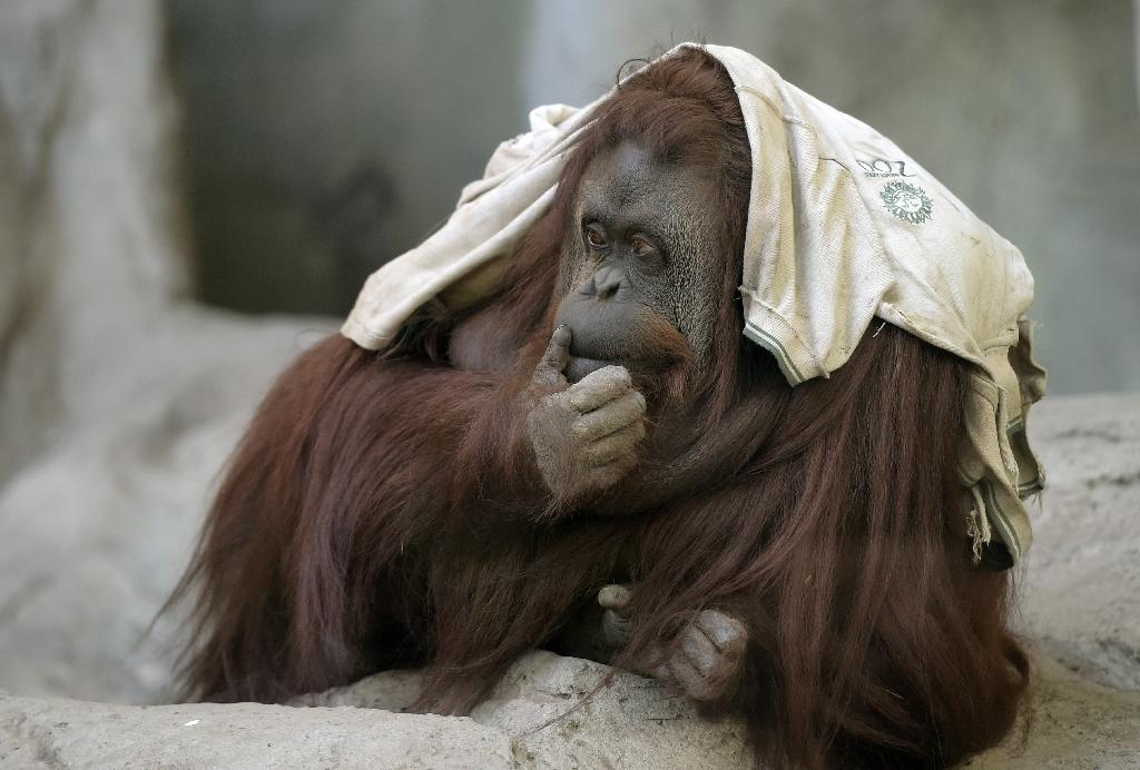 Case on rights of orangutan moving in Argentina court