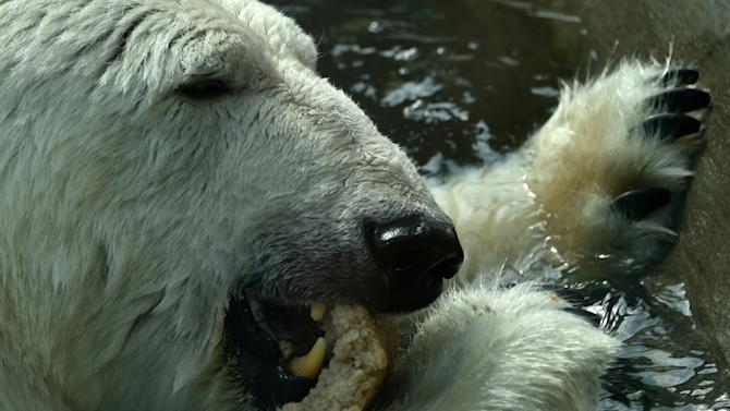 A polar bear eats bread in the Moscow Zoo on August 8, 2014
