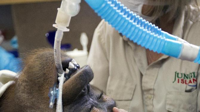 In this Sept. 5, 2012 photo, Jungle Island volunteer Linda Jacobs comforts Peanut, one of the orangutans from a private zoo, as she is treated with R-CHOP therapy, a combination of drugs used in chemotherapy to treat her aggressive non-Hodgkin lymphoma in Miami. Human medical specialists are treading new ground in applying a standard chemotherapy regimen to treat cancer in an orangutan. Orangutans share about 96 percent of a human's genetic makeup, and Peanut's treatment plan is closer to that of what a human would receive for the same type of cancer, making this the first documented case of an orangutan being treated with this type of therapy. (AP Photo/J Pat Carter)