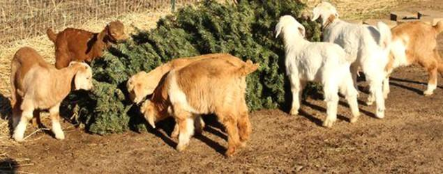 Nevada goats help recycle Christmas trees