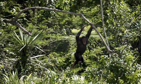 A chimp swings from a branch at the Jane Goodall Institute Chimpanzee Eden sanctuary
