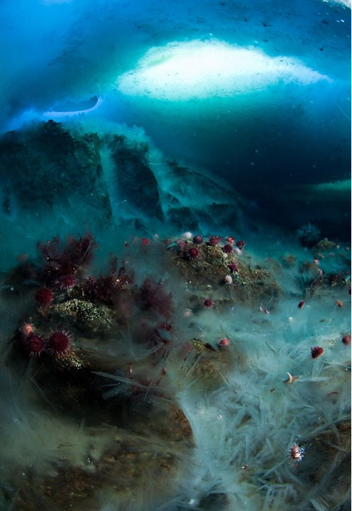 An underwater 'icefall'. Meltwater seeping down from cliffs above has formed a stunning slope of rapidly frozen ice crystals at Granite Harbour, McMurdo Sound, Antarctica. The red starfish,(Odontaster