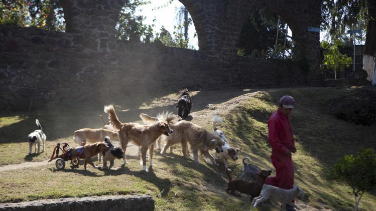 "A pack of dogs follow a worker at the at the ""Milagros Caninos,"" sanctuary for abused and abandoned dogs, in Mexico City, Friday, Jan. 11, 2013. About 128 abused dogs are sheltered at the Milagros Caninos sanctuary. Dogs on wheelchairs, blind, deaf or ill frolic and run around the huge sanctuary in the southern part of Mexico City. (AP Photo/Eduardo Verdugo)"