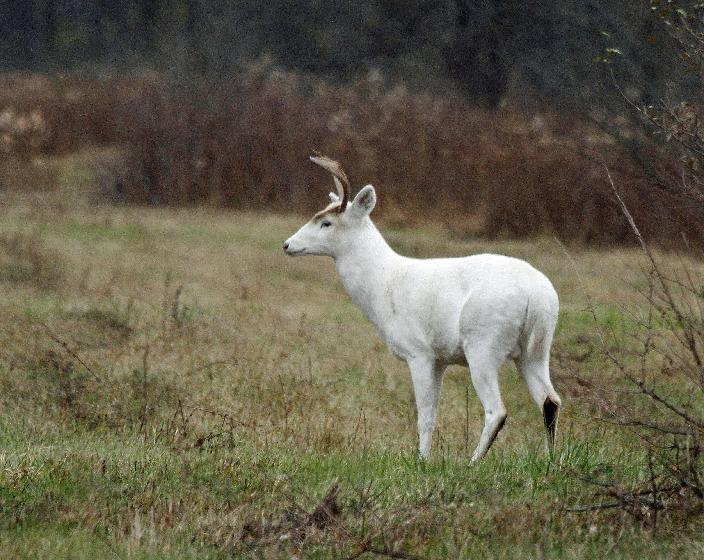 In a Nov.10, 2015 photo provided by Seneca White Deer Inc., a white buck stands in a clearing at the former Seneca Army Depot in central New York...