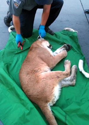 In this photo released by the Reno Police Department on Friday Aug. 24,2012 showing an unidentified wildlife official tagging a tranquilized mountain lion that wandered into a downtown Reno entertainment plaza and hid under a stage. Officials planned to tag the animal and check its health before releasing it back into the wild. (AP Photo/Reno Police Department)