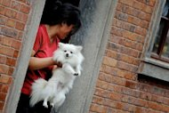 A Chinese woman holds her dog as she steps from a home in Shanghai. Dog owners in the city have rushed to license their pets over the weekend as the city imposed a new one-dog policy in response to the growing popularity of man's best friend, state media said Monday