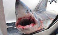 Shark Fisherman 'Shaken' After Narrow Escape