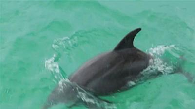 Dolphins Are Dying, Race on to Protect Them