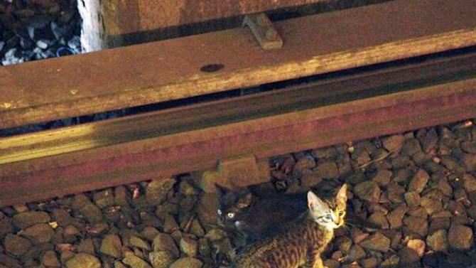 In this Aug. 29, 2013 photo provided by the Metropolitan Transportation Authority in New York, two kittens stand between the rails on subway tracks in the Brooklyn borough of New York. Power was cut to the tracks as transit workers tried to remove the kittens from the tracks but they ran away. Officials say workers and passengers are on the lookout for them and train operators are being asked to proceed with caution. (AP Photo/Metropolitan Transit Authority)