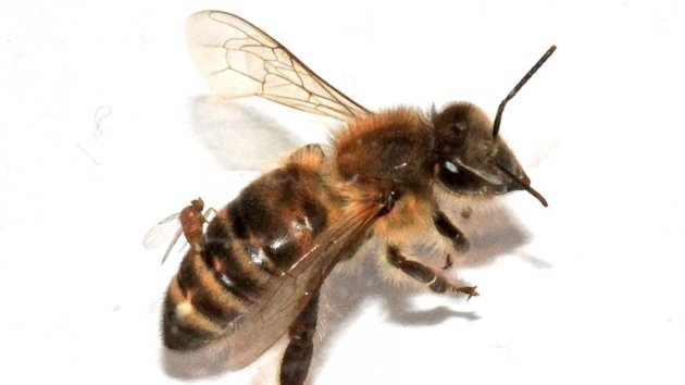 'Zombie' Bees Surface in the Northeast (ABC News)