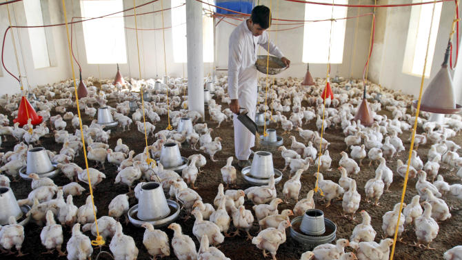 An Afghan man feeds chickens in a farm on the outskirts of Jalalabad, Afghanistan, Thursday, Oct. 27, 2011. (AP Photo/Rahmat Gul)